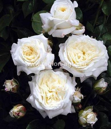 Саженцы роз в новосибирске купить