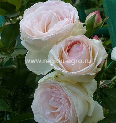 1 royal garden саженцы роз 1370673308